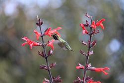 Salvia gesneriflora 'Tequila', with hummingbird
