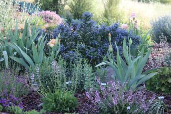Iris, Salvias, Heuchera 'Alum Root' with Ceanothus