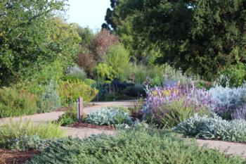 View of Garden from the Oak, with Lavender, Lamb's Ears and Centaura gigantea