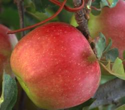 Organic Apple Fruit