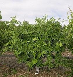 Pruned Fruit Bush